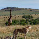 giraffe cheetah webshop