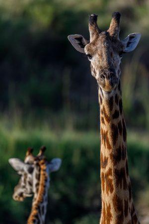 giraffe close up fotoprint wanddecoratie afrika kenya